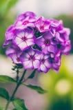 ` Пламени глаза ` paniculata флокса фиолетовое стоковые фотографии rf