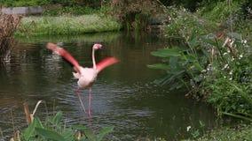 Пламинго, финикоптерский чиленси, гуляя по озеру среди деревьев сток-видео