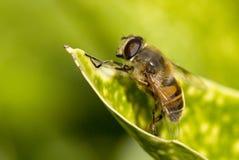планер мухы Стоковая Фотография RF