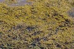 планктон Стоковые Изображения RF