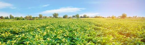 Плантации баклажана растут в поле vegetable строки Сельское хозяйство, земледелие Ландшафт с аграрным краем урожаи знамена стоковые фото