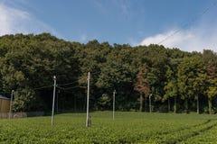 Плантации зеленого чая Стоковое Фото