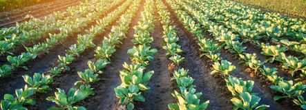 Плантации капусты растут в поле vegetable строки Сельское хозяйство, земледелие Ландшафт с аграрным краем урожаи Селективный fo стоковые фото