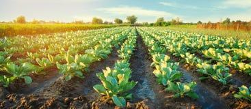 Плантации капусты растут в поле vegetable строки Сельское хозяйство, земледелие Ландшафт с аграрным краем урожаи Селективный fo стоковая фотография