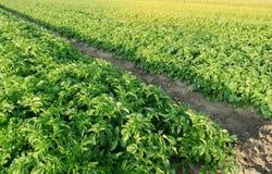 Плантации картошек растут в поле Строки овоща Обрабатывать землю, земледелие Ландшафт с аграрным краем Свежее органическое стоковое фото