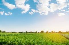 Плантации картошки растут в поле vegetable строки Ландшафт с аграрным краем Сельское хозяйство, земледелие Селективный фокус стоковое изображение