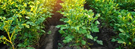 Плантации картошки растут в поле vegetable строки Сельское хозяйство, земледелие Ландшафт с аграрным краем урожаи знамена стоковая фотография rf