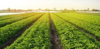 Плантации картошки растут на поле на солнечный день Растя органические овощи в поле Строки овоща r стоковые изображения