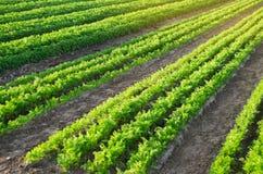 Плантации моркови растутся в поле Строки овоща Органические овощи Земледелие ландшафта Обрабатывать землю ферма E стоковые изображения rf