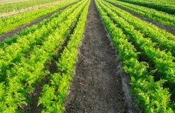 Плантации моркови растут в поле Строки овоща Растя овощи Ферма Ландшафт с аграрным краем Урожаи свежие стоковые фотографии rf