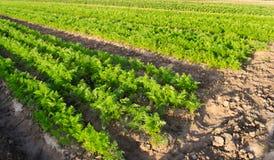 Плантации моркови растут в поле Строки овоща Растя овощи Ферма Ландшафт с аграрным краем Урожаи свежие стоковое фото rf