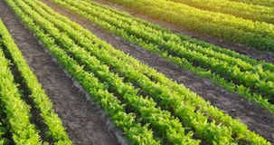 Плантации моркови растут в поле r Органические овощи Строки овоща farming r стоковые изображения
