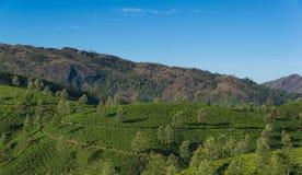 Плантации чая в холмах стоковые изображения rf