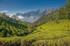 Плантации чая в Munnar, Керала, Индии Стоковые Фото