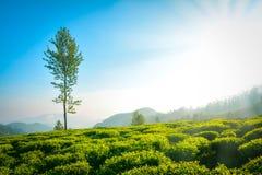 Плантации чая и солнце Munnar стоковые фото