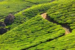 Плантации чая, Керала стоковое изображение