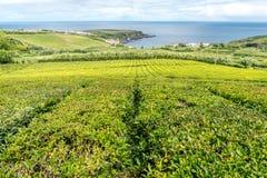 Плантации чая на острове Sao Мигеля в Азорских островах, Португалии Стоковые Изображения