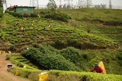 Плантации чая Шри-Ланка уникальные голубые стоковые фотографии rf
