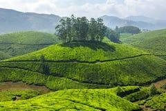 Плантации чая стоковые фото