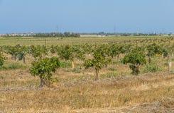 Плантация авокадоа Стоковые Изображения RF