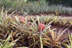 плантация ананаса стоковые изображения