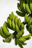 Плантация банана, пук зеленых бананов riping на банановом дереве Стоковые Изображения RF