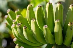 Плантация банана, пук зеленых бананов riping на банановом дереве Стоковое Изображение