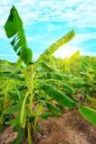 плантация банана Стоковые Изображения RF