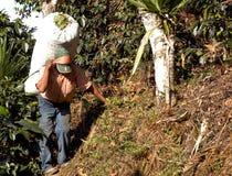 плантация Гватемалы кофе 11 стоковое изображение