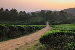 Плантация дерева чая на заходе солнца стоковое изображение rf