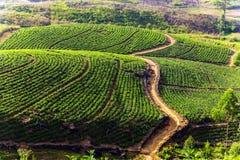 Плантация зеленого чая на холме, Цейлон, Шри-Ланка стоковые изображения rf