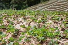 Плантация клубники конца-вверх растя в зиме Стоковое Изображение RF