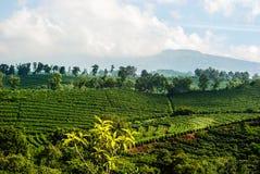 Плантация кофе Костарика Стоковая Фотография RF