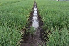 Плантация красного лука ферма овоща, стоковое фото rf