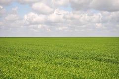 Плантация кукурузного поля в Аргентине стоковое фото rf