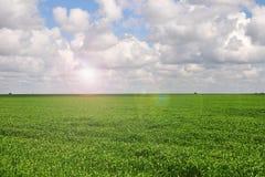 Плантация кукурузного поля в Аргентине стоковое изображение