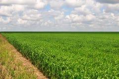 Плантация кукурузного поля в Аргентине стоковые фотографии rf