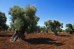Плантация оливок Стоковая Фотография RF