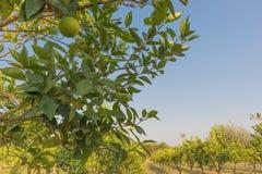 Плантация оранжевых деревьев в зеленом положении anisette вышесказанного стоковое фото rf