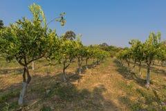 Плантация оранжевых деревьев в зеленом положении anisette вышесказанного стоковые фото
