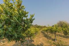 Плантация оранжевых деревьев в зеленом положении anisette вышесказанного стоковые фотографии rf