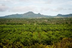 Плантация пальмового масла Стоковое Фото