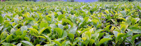 плантация панорамы Стоковое фото RF