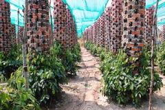 Плантация перца Kampot - KAMPOT, КАМБОДЖА Стоковые Фотографии RF