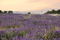 плантация Провансаль французской лаванды Стоковая Фотография RF