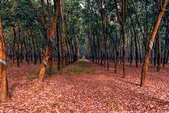 Плантация резинового дерева с рыжеватыми листьями на том основании в sou стоковые изображения
