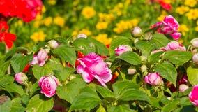 Плантация роз Стоковая Фотография