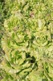 плантация салата Стоковые Изображения RF
