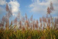Плантация сахарного тростника Стоковые Изображения
