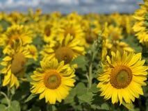 Плантация солнцецветов против голубого неба стоковые изображения rf
